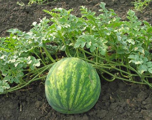 Anguria o cocomero frutto estivo propriet e curiosit for Pianta di melone