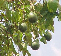 25 cm di melanzana in figa gonfia - 3 7