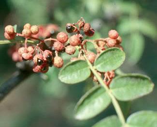 Pepe di sichuan uso in cucina e descrizione - Peperoncino pianta perenne ...