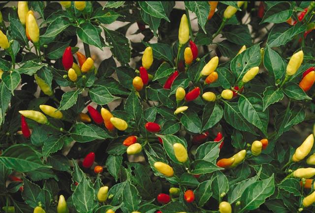 Peperoncino tutto sul peperoncino alimentipedia for Pianta peperoncino