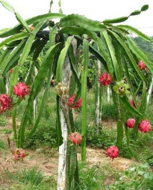 Pitaya o pitahaya o red dragon fruit o strawberry pear frutto esotico alimentipedia - Arbre fruit du dragon ...