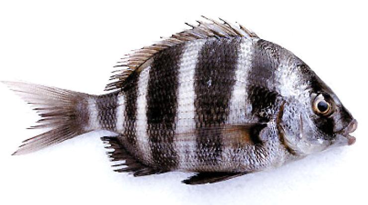 Sarago pesce variet come cucinare e scegliere for Cucinare nei vari dialetti italiani
