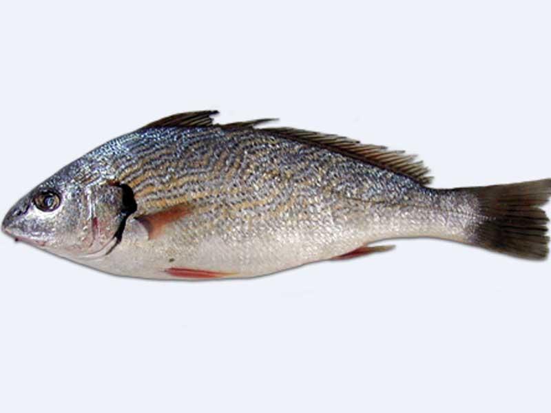 Ombrina pesce di mare come si cucina alimentipedia - Pagina di colorazione del pesce ...