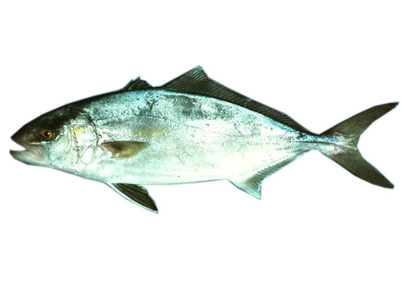 Ricciola pesce azzurro alimentipedia enciclopedia - Pagina di colorazione del pesce ...