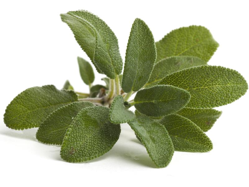 Salvia comune erba aromatica alimentipedia for Salvia da colorare