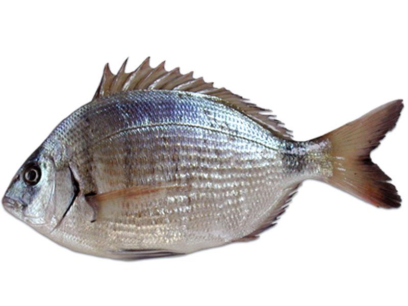 Sarago pesce variet come cucinare e scegliere for Caratteristiche dell architettura in stile mediterraneo