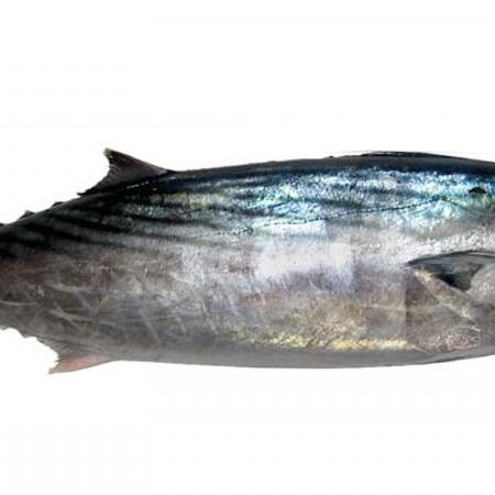 Palamita, pesce di mare