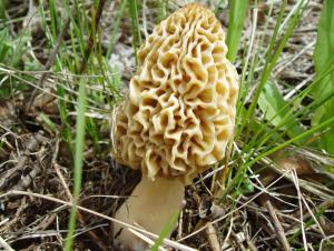 Funghi spugnole