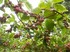 Baby kiwi o nergi descrizione completa alimentipedia for Kiwi pianta