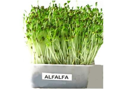 Germogli Alfa Alfa benefici