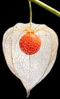 Fiore dell'alkekengi