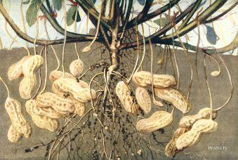 arachidi o spagnolette o noccioline scheda di ForPianta Noccioline