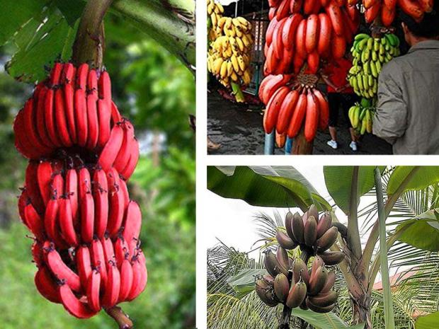 Pianta delle banane rosse