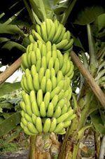 Banana descrizione del frutto alimentipedia for Albero di banane