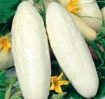 Cetriolo bianco