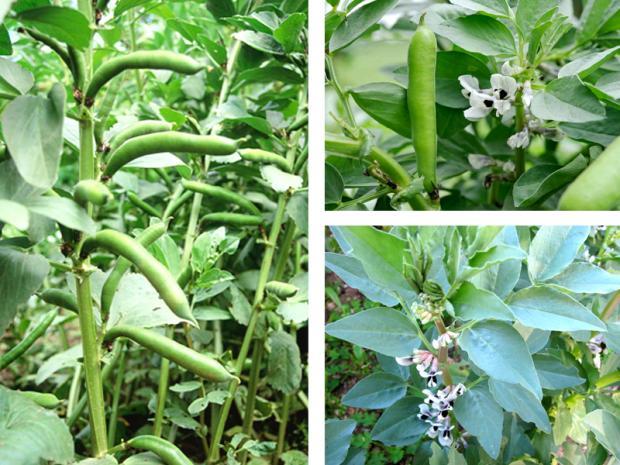 Pianta delle fave
