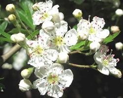 Fiori di biancospino