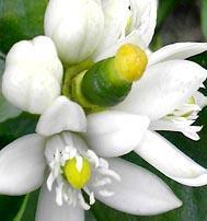 Fiori della pianta del lime