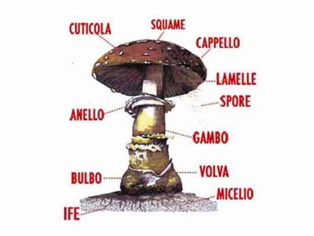 Struttura del fungo