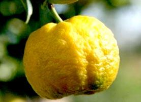 Limetta varietà Roma o Pursha