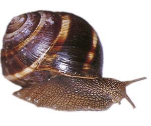 Lumaca Helix lucorum