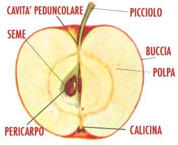 Parti della mela