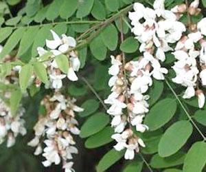 Pianta Acacia, Robinia pseudoacacia