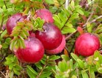 Mortella di palude, varietà di mirtillo