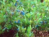Vaccinium Angustifolium. varietà di mirtillo