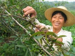 Raccolta del pepe di Sichuan