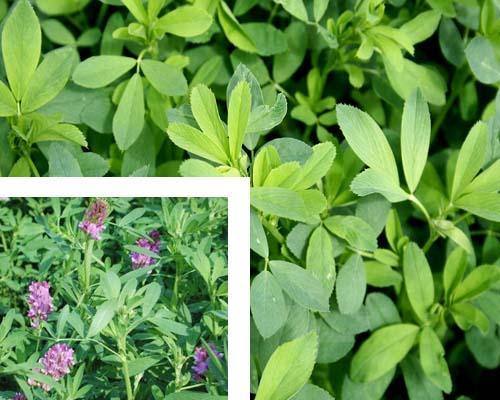Alfa Alfa, erba medica pianta perenne