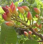 Pianta dei pistacchi