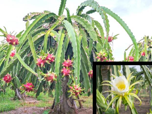 Pianta e fiore della Pitaya
