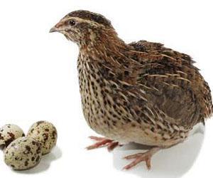 Quaglia viva con uova