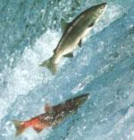 Salmoni nel fiume