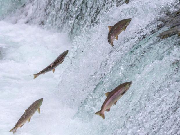 Salmoni vivi