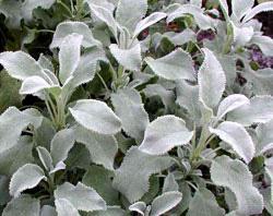 Salvia Crispa