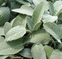 Salvia Latifolia
