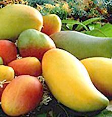 Varietà di mango