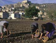 Raccolta dello zafferano a Navelli in Abruzzo