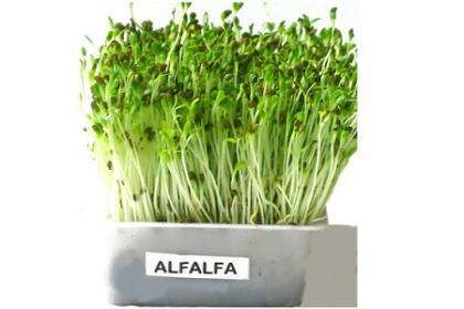Alfa alfa germogli