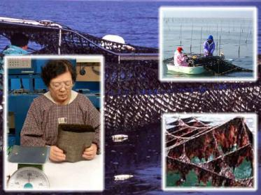 Lavorazione e raccolta dell'alga Nori