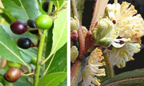 Bacche e fiori dell'alloro