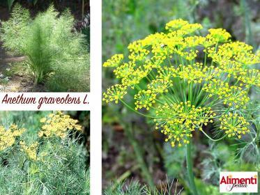Anethum graveolens L.. Pianta e fiori dell'aneto