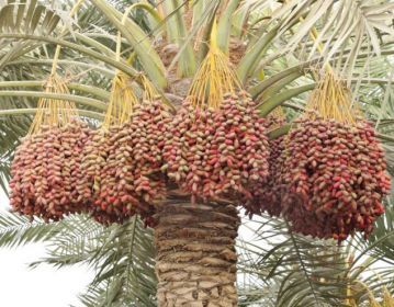 Il dattero scheda di approfondimento alimentipedia for Palma pianta