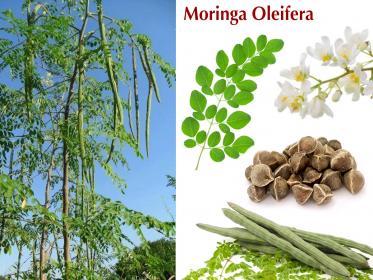 Pianta Moringa Oleifera