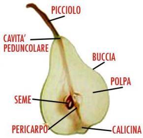 Le parti della pera