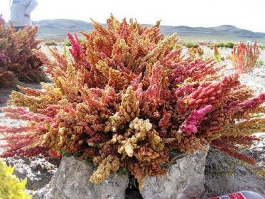 Quinoa pianta delle Ande