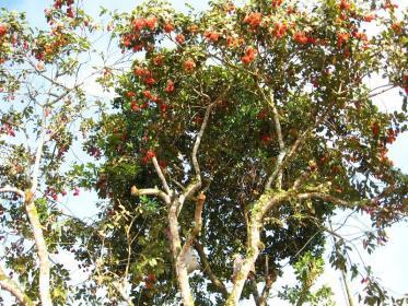 Nephelium lappaceum L.,pianta del frutto rambutan