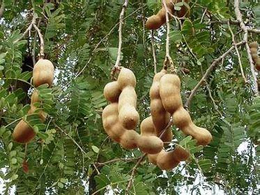 tamarindo fruit is pumpkin a fruit or vegetable